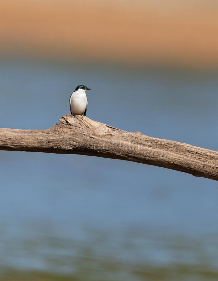 A lonely White-winged swallow