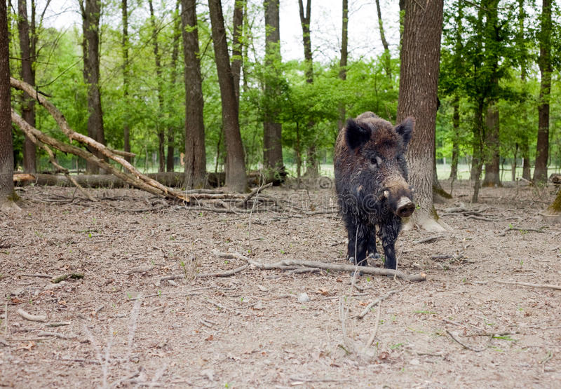 Download Lonely wild boar stock image. Image of trees, dirty, animal - 19654599