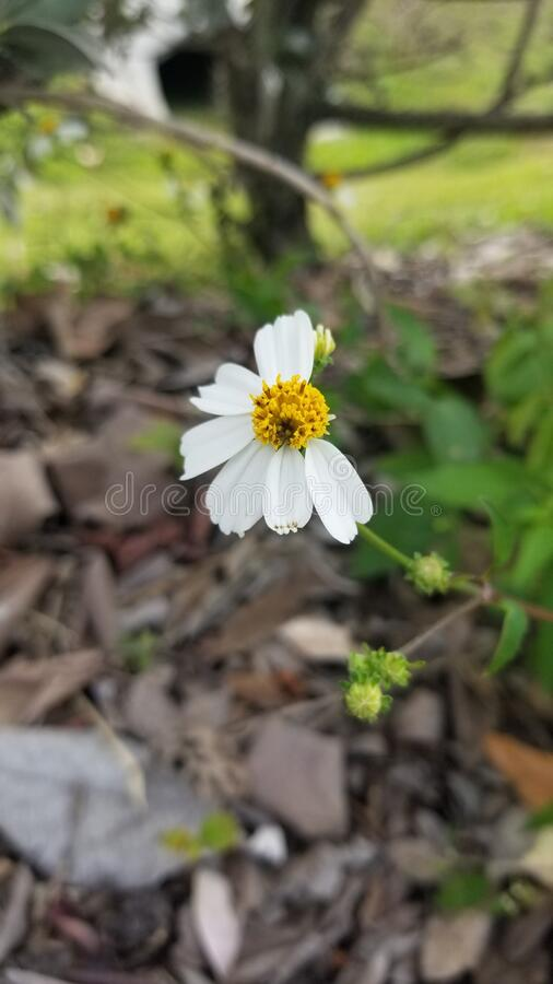 A lonely wild daisy losing it petals royalty free stock photography