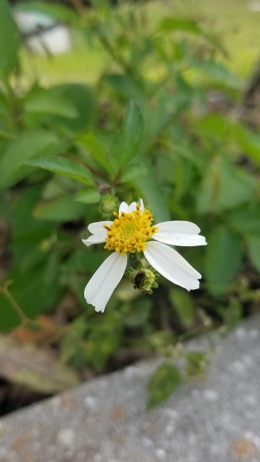 A lonely wild daisy losing it petals stock photos