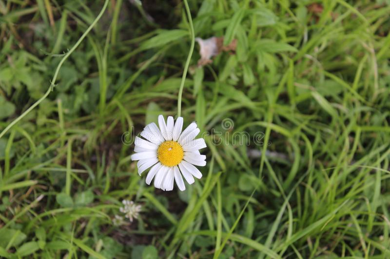 Wild Marguerite. Lonely wild Flower royalty free stock images