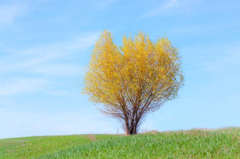 Lonesome Willow in the Meadow. A lonely willow with yellowish leaves is standing in a green meadow under a blue sky royalty free stock image