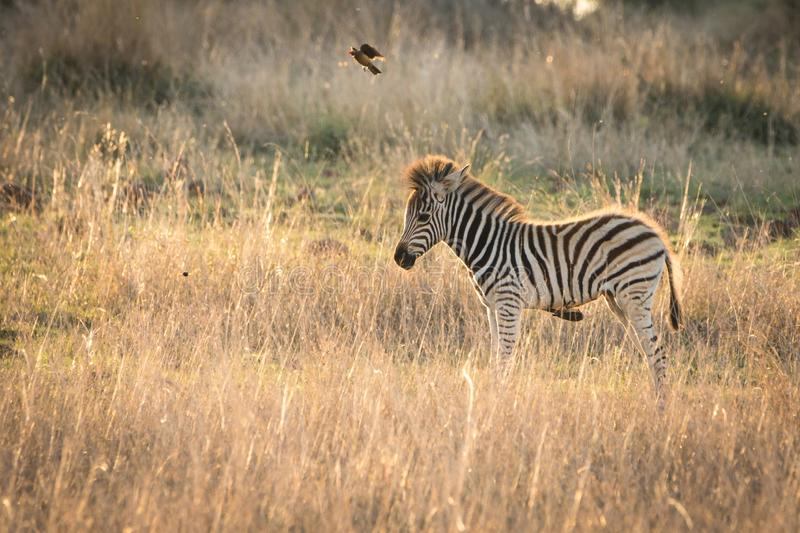 Lonely young zebra. Standing in grassland during sunset stock image