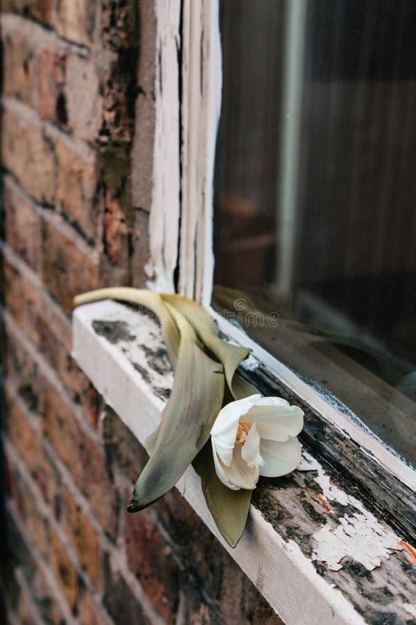 LonelyTulip auf altem Fensterbrett lizenzfreie stockfotografie