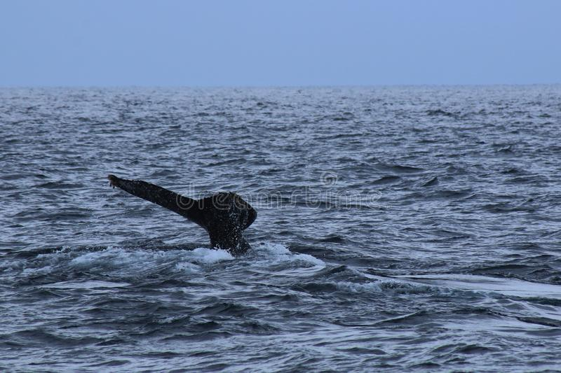 A lonenly tail of a humpback whale in a large ocean, Megaptera novaeangliae royalty free stock photography