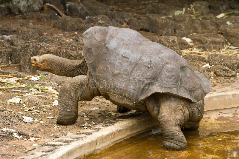 Lonesome George. A famous giant Galapagos tortoise royalty free stock image