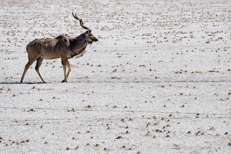 Lonesome kudu royalty free stock image