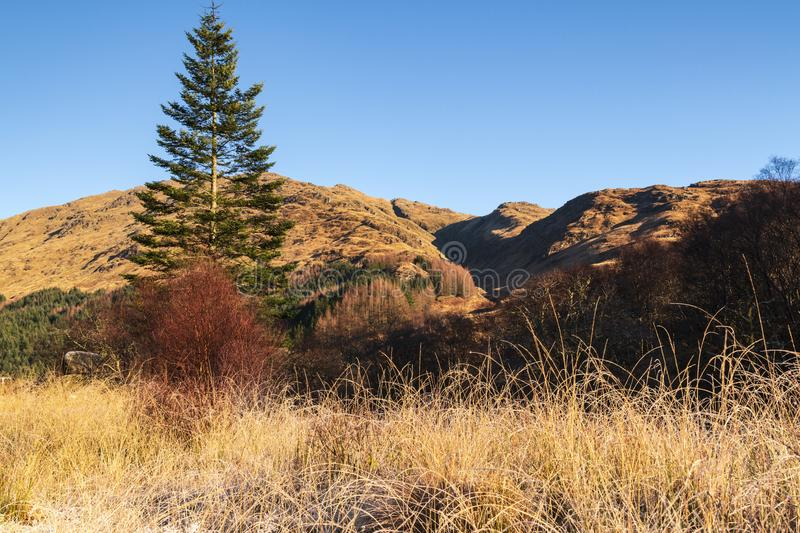 Lonesome Pine. A winter image of a lonesome pine near Glenfinnan in Lochaber, Scotland royalty free stock photos