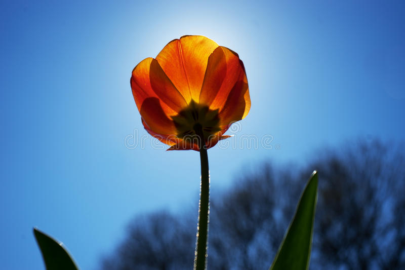 Lonesome tulip. With the sun in the back royalty free stock images