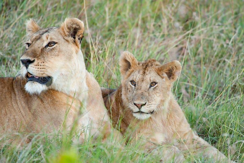 Loness mit Löwejungem, Löwin mit dem Babylöwe, der heraus in Serengeti, Tansania, Afrika, Löwealarm, Löwinalarmieren aufpasst lizenzfreie stockfotos