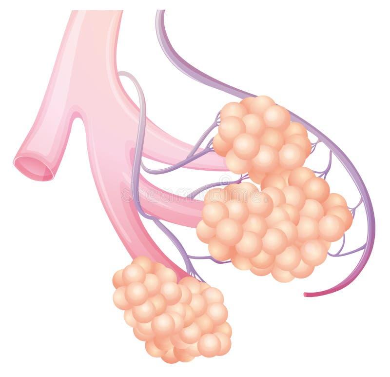 Long alveole stock illustratie