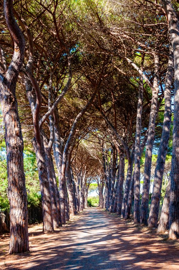 Long arched pine trees alley walkway in the natural forest park near the Tenda Gialla beach, Orbetello, Province of Grosseto stock photo