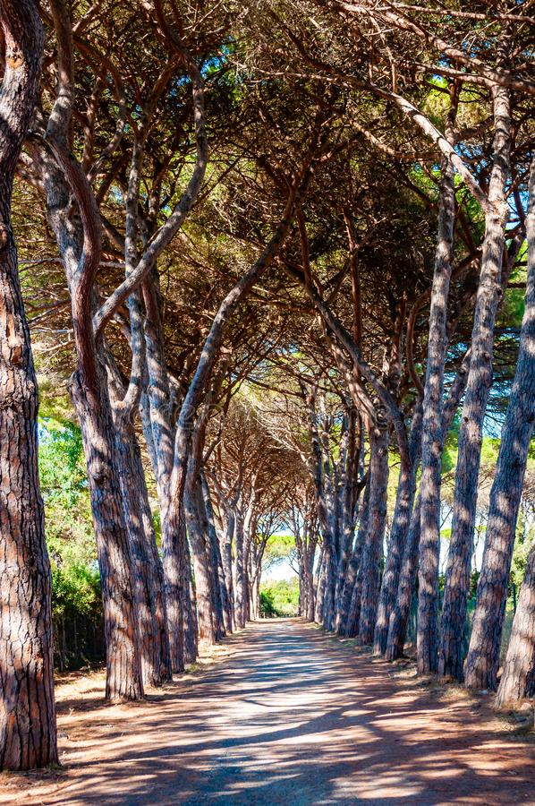 Long arched pine trees alley walkway in the natural forest park near the Tenda Gialla beach, Orbetello, Province of Grosseto stock image