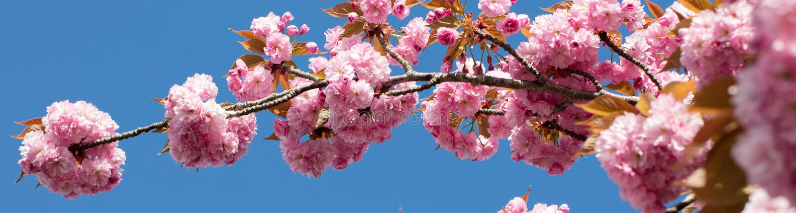 Long banner with pink Japanese cherry branch over blue sky royalty free stock image