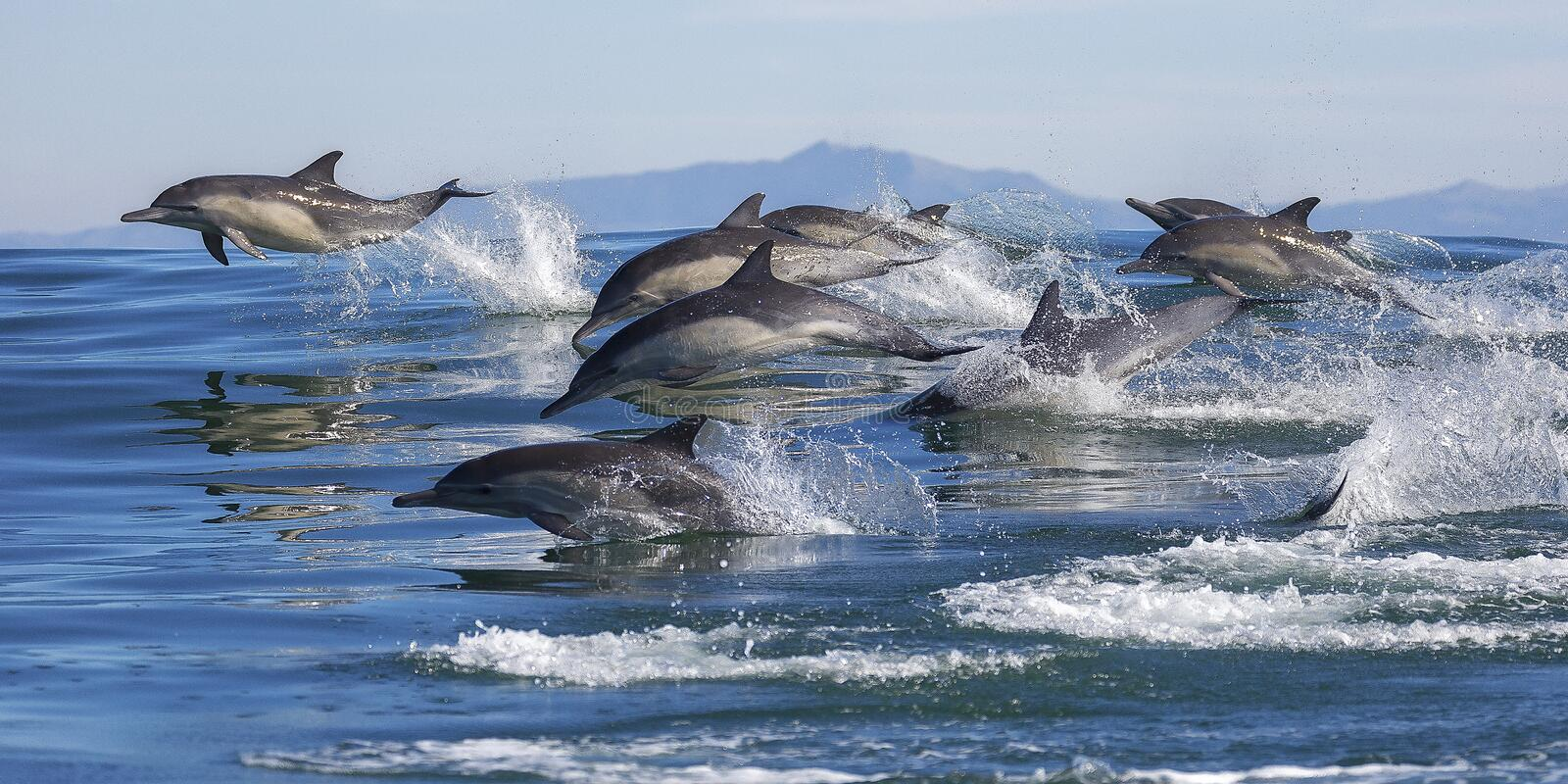 Long-Beaked Common Dolphins. A pod of long-beaked common dolphins swim through Monterey Bay, California