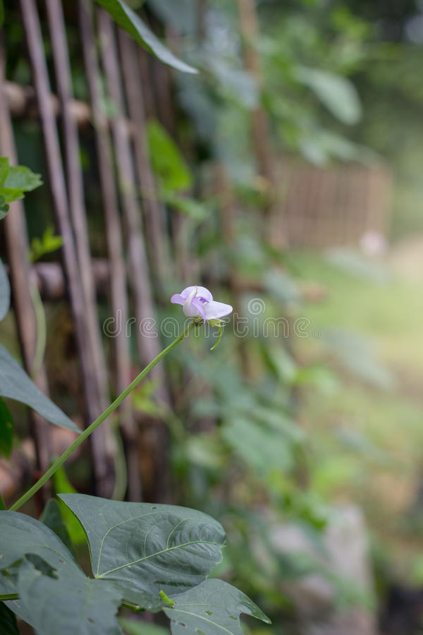 Long bean flower royalty free stock photography