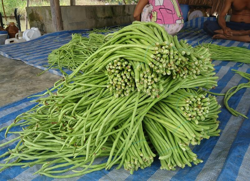 Long bean is a kind of ivy that is an annual herb that grows popularly. And very popular in Southeast Asia Due to the crispy sweet taste Eaten as fresh stock photo