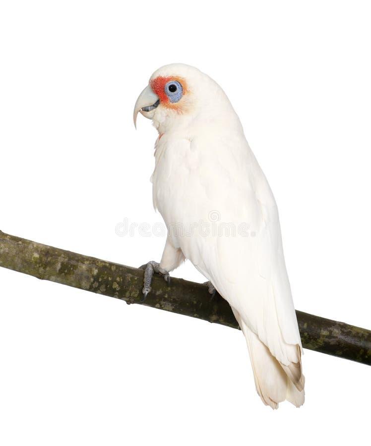 Long-billed Corella - Cacatua tenuirostris stockfoto