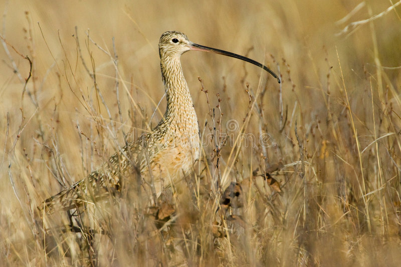 Download Long Billed Curlew Royalty Free Stock Photo - Image: 9209035
