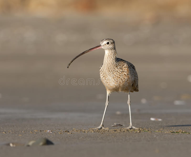 Long-billed Curlew On Beach Royalty Free Stock Images