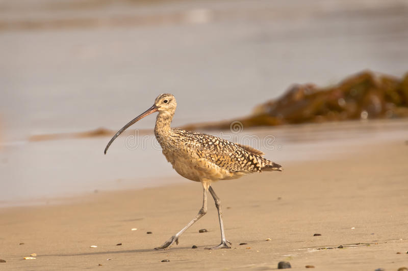 Download Long Billed Curlew On Beach Stock Image - Image: 20490357