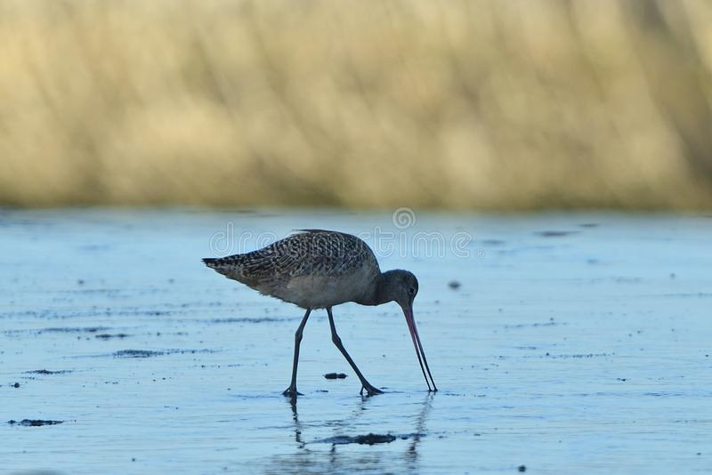A Long Billed Curlew digging in the sand stock photography