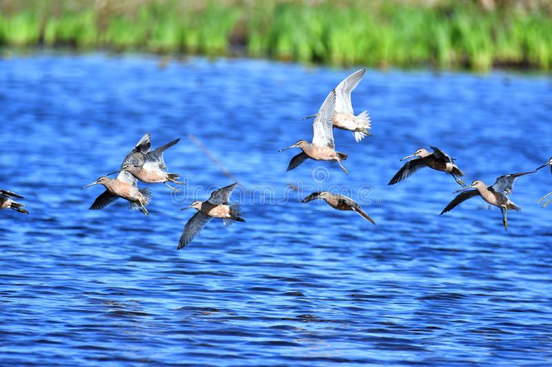 Long-billed dowitcher stock images
