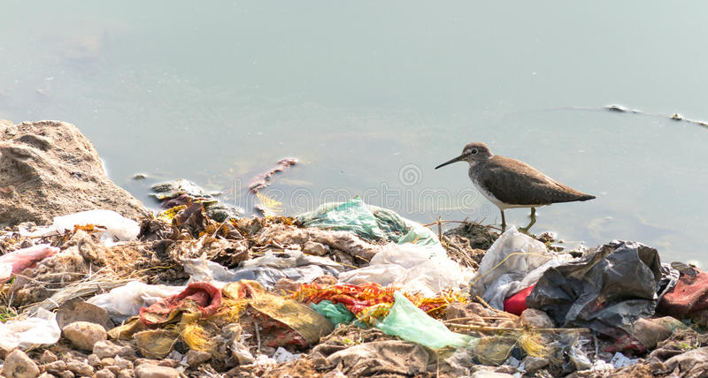 Long billed dowitcher struggling to survive due to pollution. Indian Long-billed Dowitcher, wading in water surrounded by human garbage waste. These birds are