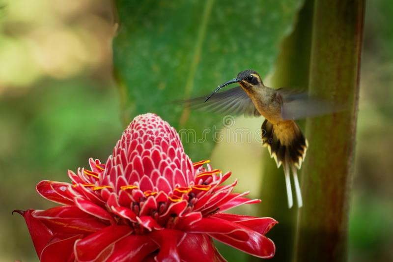 Long-billed Hermit - Phaethornis longirostris large hummingbird on the red bloom, resident breeder from Mexico south to Ecuador,. Known as the western long stock photo