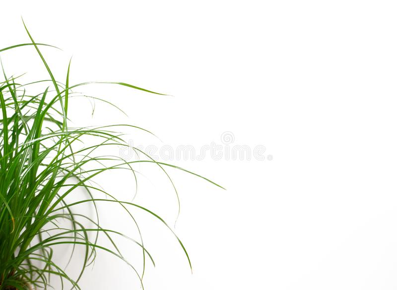 Long blades of green grass isolated on white background with copy space for your own text royalty free stock images