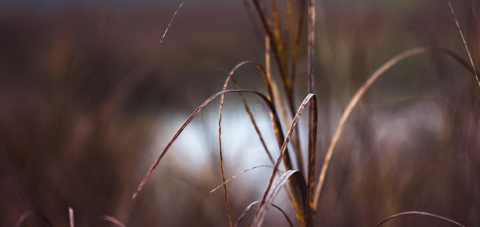 Long brown grass near water close up. In spring/autumn royalty free stock photo