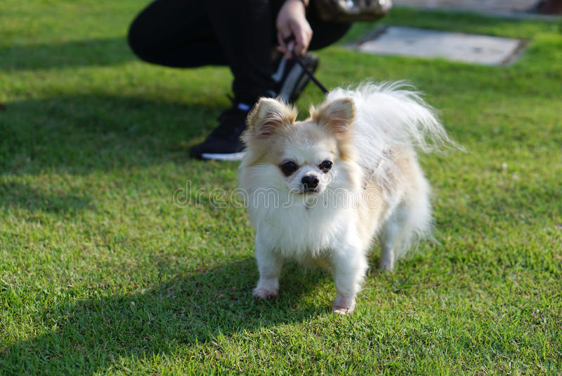Long chien blanc de chiwawa de cheveux se tenant sur l'herbe photo libre de droits