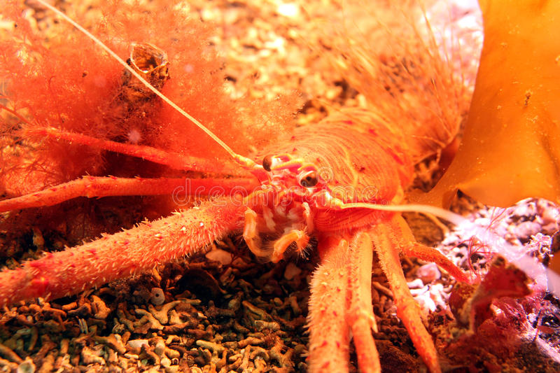 Long-clawed Squat Lobster stock image