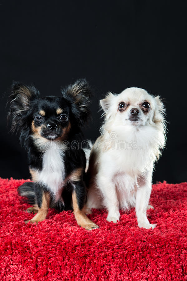 Long-coat chihuahua dogs royalty free stock photography