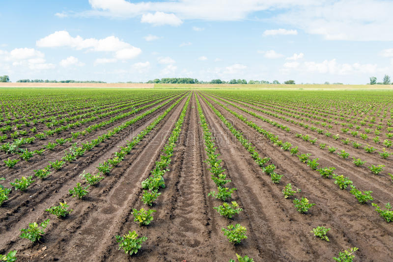 Long converging rows with young Celeriac plants on a wet field. Large field with long converging rows of young celeriac plants on a sunny spring day. The field stock photo