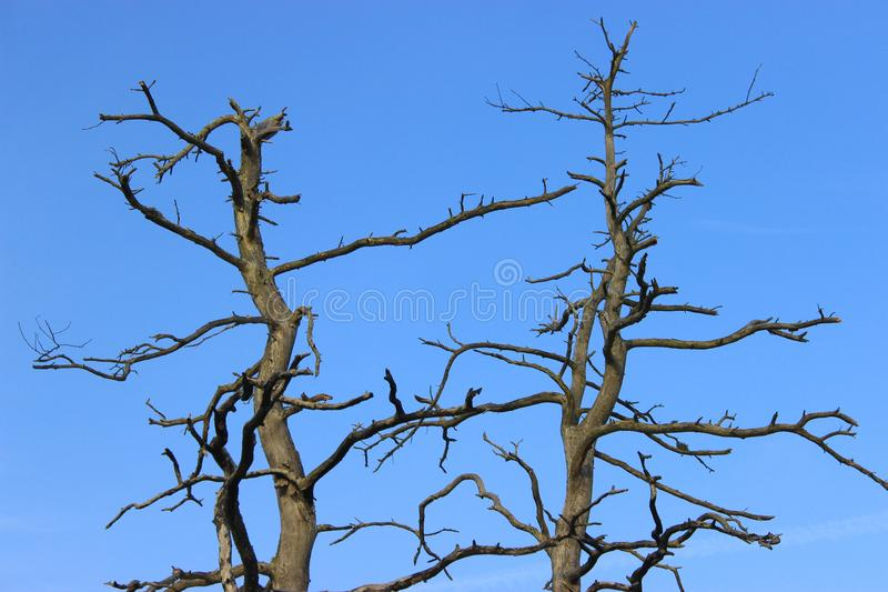 Long dead pine tree with a squiggly and dark branches with no bark. View of the tree top and blue skies. Latvia stock image