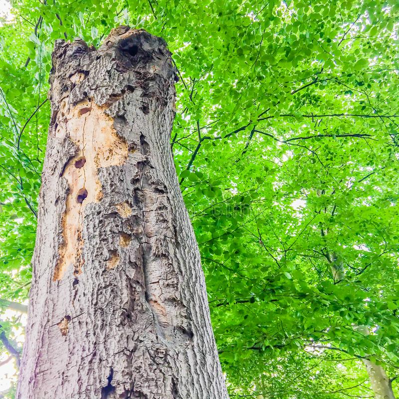 Long decaying dead tree trunk with holes viewing on branches with leaves in a nature forest landscape scenery royalty free stock image