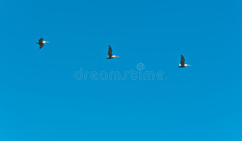Three brown pelicans flying in formation royalty free stock photography