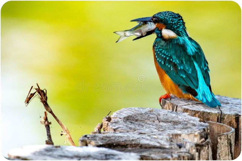 Long drive straight into. The kingfisher stalks the fish in the lake, picks up the lake and sucks it, shaking his head and shaking his head to lead the fish head stock photos