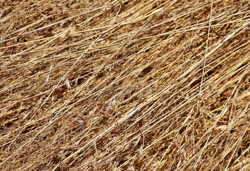 Long dry grass background stock photo