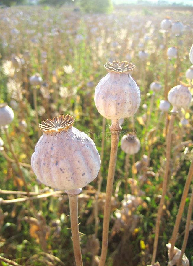 Long dry stalk of poppy seed in back light royalty free stock photography