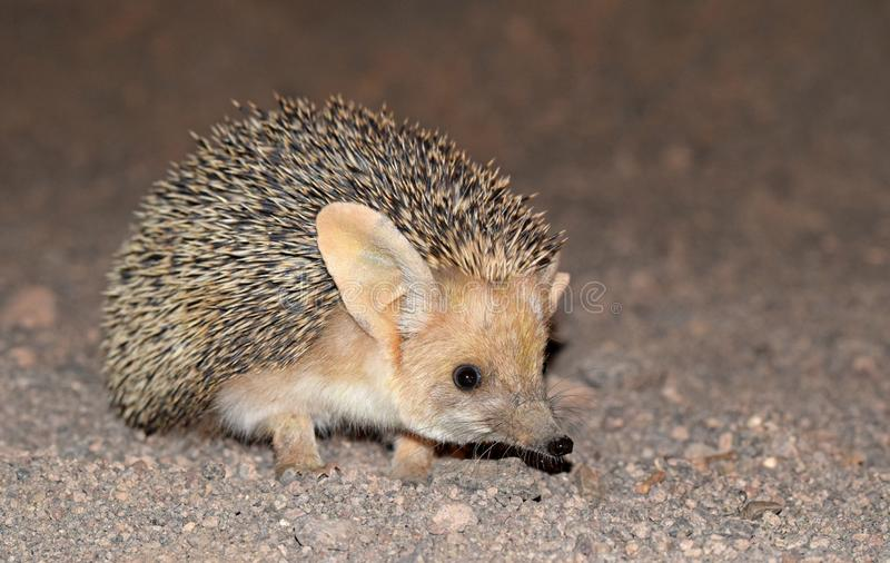 The Long-eared hedgehog in desert. The long-eared hedgehog is a species of hedgehog native to Central Asian countries and some countries of the Middle East. The royalty free stock image