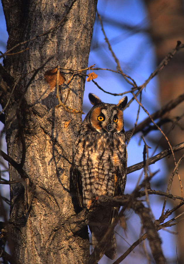 Download Long-eared Owl stock image. Image of bird, nature, wildlife - 10216355