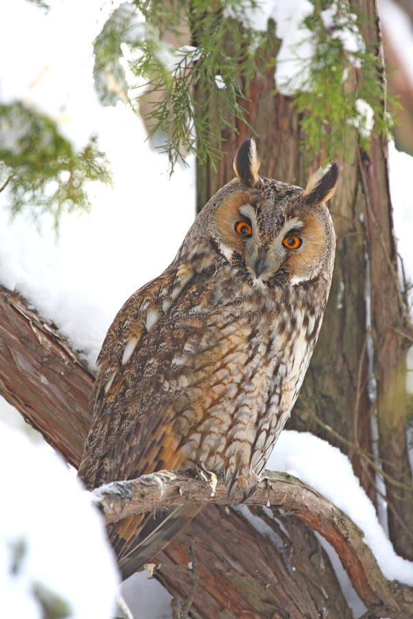 Download Long-eared owl stock photo. Image of night, bird, winter - 18299354
