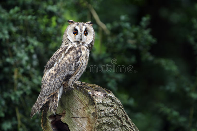 Download Long-Eared Owl stock image. Image of outdoors, england - 28819089