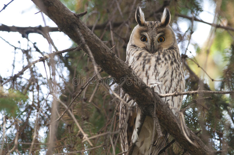 Download Long-eared Owl stock photo. Image of portrait, branch - 29055744