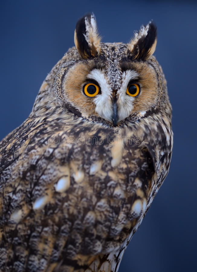 Download Long-eared owl stock image. Image of nature, portrait - 29536453