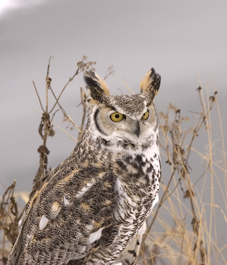 Long eared owl. In winter plumage royalty free stock photography