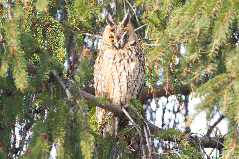 Download Long-eared Owl  / Asio Otus Stock Photo - Image: 28358032