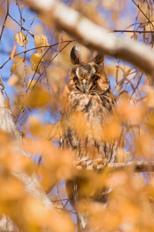 Download Long eared owl stock image. Image of black, long, common - 31528455